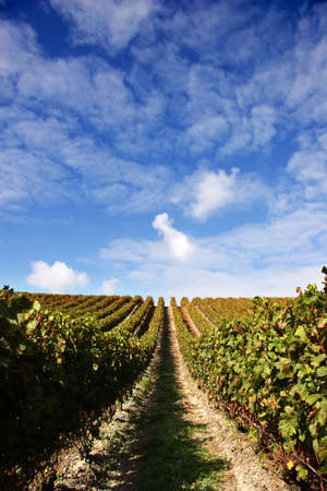 Grape vines and blue sky at a winery