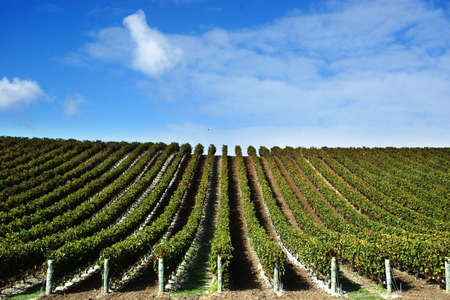 grape vines at winery with blue sky