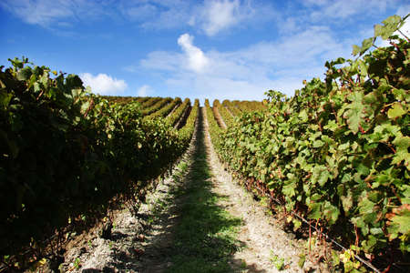 Grape vines at a vineyard on a fine day