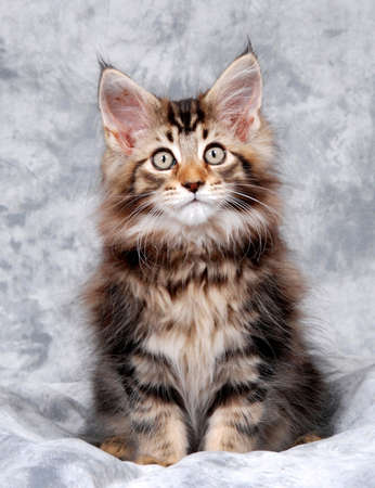 Portrait of a Maine Coon kitten, classic brown tabby