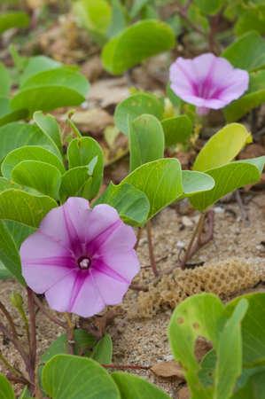flower of ipomoea pes caprae
