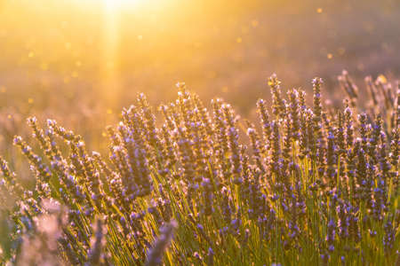 Photo for Closeup lavender field summer sunset landscape near Valensole, Provence, France - Royalty Free Image