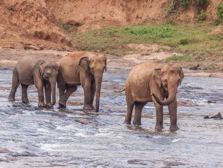 Foto per famiglia di elefanti, tre esemplari, attraversano un fiume in Sri Lanka - Immagine Royalty Free