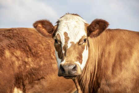 Photo pour Head of an adult red and white cow, gentle look, pretty stain on face and pale blue background - image libre de droit