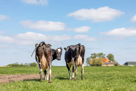 Photo pour Two cows walking away in the green field, seen from behind, stroll towards the horizon. Cheeky cow looking backwards with turned head, showing its udders under a blue sky. - image libre de droit