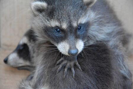 A small racoon - baby holds the paw on another racoon baby