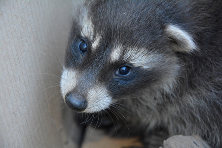 A sweet racoon - baby