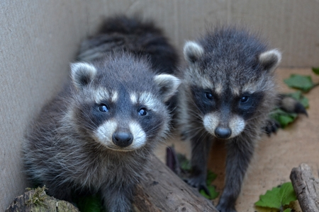 Two sweet racoons look forwards