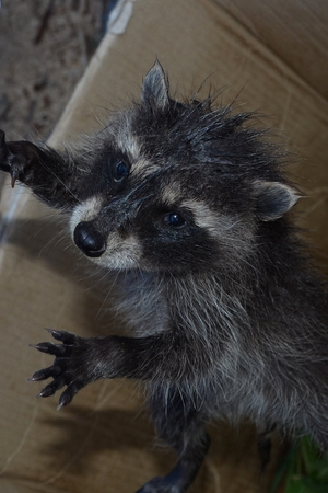 A small racoon - baby