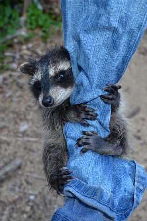 A small racoon - baby hangs on jeans