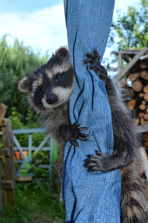 A racoon - baby hangs on jeans and looks forwards