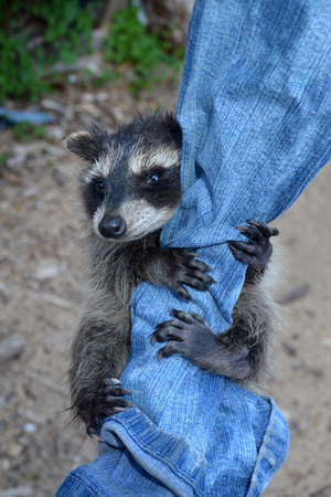 A racoon - baby hangs on blue jeans
