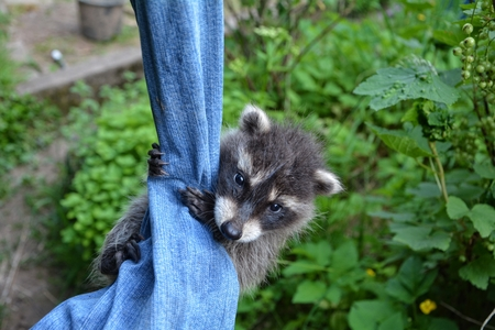 A racoon - baby hangs on blue jeans in green nature