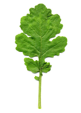 Edible leaf of Mustard plant isolated over white background