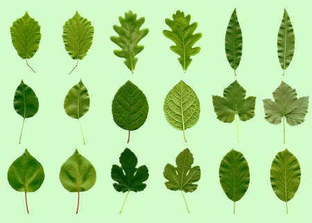 Photo pour Tree leaves collage - front and back - over green - image libre de droit