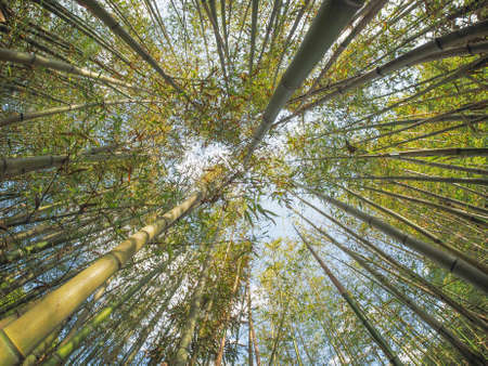 Bamboo (Bambuseae) trees perspective seen from below with fisheye lens