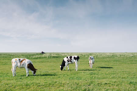 Foto per Grazing cows and tractor in the Marken countryside, the Netherlands - Immagine Royalty Free