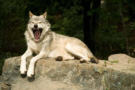 great plains  wolf yawning while resting on rock in sun
