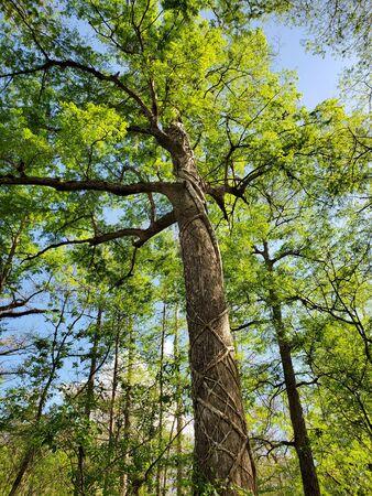 Photo pour View from Boardwalk in Audobon Corkscrew Swamp Sanctuary, Florida Everglades Ecosystem - Nature Walking Trail, Ancient Tree - image libre de droit