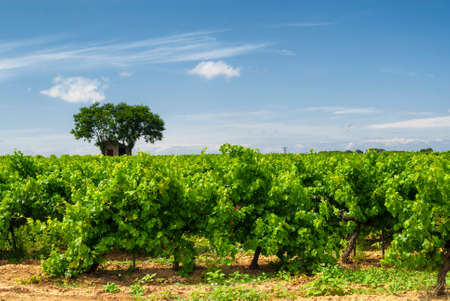 Vineyards near Pinet (Languedoc - Roussillon, France) at summer
