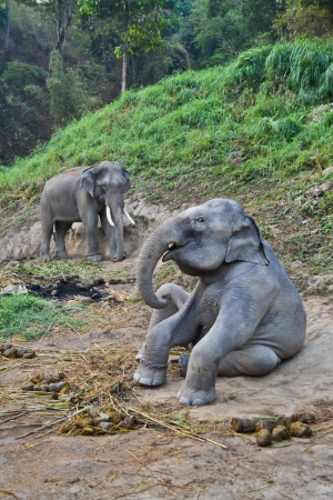 asia elephant flock in camp of thailand