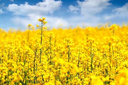Yellow Rape flowers field in summer.