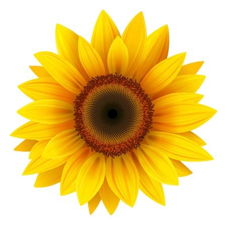 Ilustración de Vector sunflower, realistic illustration. - Imagen libre de derechos