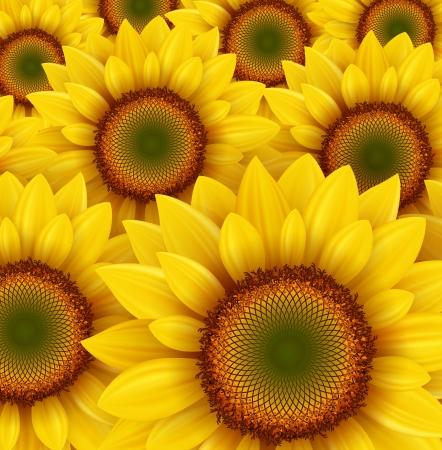 Sunflower field as summer background, vector illustration.