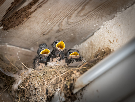 Three barn swallow chicks (Hirundo rustica) sitting in a nest and waiting to be fed