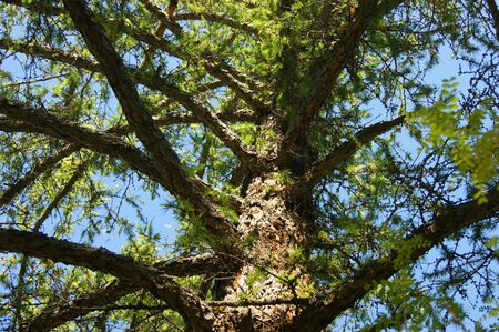 Conifer larch type from below year daytime