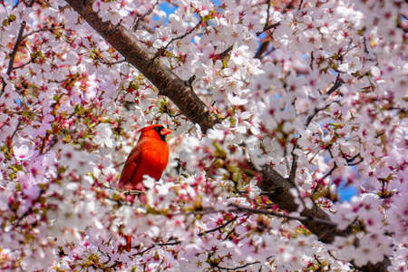 A Red Bird, The Northern Cardinal Male on cherry blossom tree
