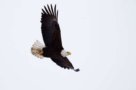 American Bald Eagle flying close to the ground