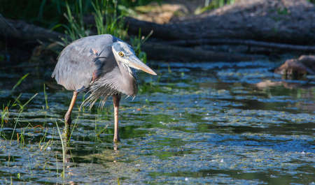 Great Blue Heron fishing in the low lake waters