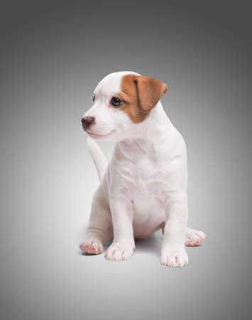 Foto de the puppy Jack Russell sit on gray background - Imagen libre de derechos