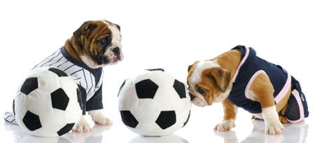 Two English Bulldog Puppies Playing Soccer With Reflection