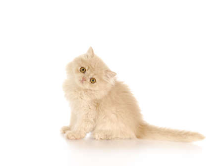 persian kitten sitting on white background - cream color - 12 weeks old
