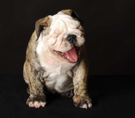 english bulldog puppy with mouth open laughing on black background