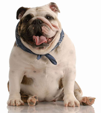 adorable happy english bulldog with scarf sitting on white background