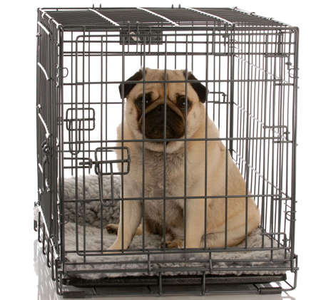 Photo for pug sitting in a wire dog crate looking out a viewer    - Royalty Free Image
