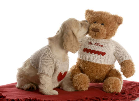 american cocker spaniel puppy kissing teddy bear wearing matching shirts with reflection on white background