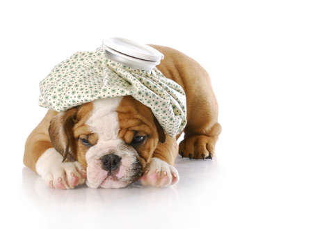 english bulldog puppy with hot water bottle on head with reflection on white background