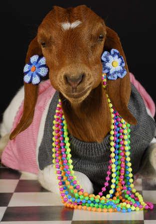 goat wearing female clothing and jewelry on black background