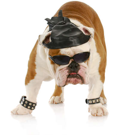 english bulldog dressed up like a tough biker with leather skull cap on white background