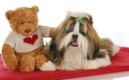 Photo pour puppy love - teddy bear comforting adorable shih tzu puppy on red blanket - image libre de droit