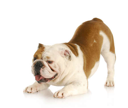 Photo for playful dog - english bulldog with bum up in the air in playful stance - Royalty Free Image