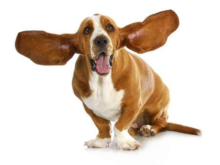 Foto für happy dog - basset hound with  - Lizenzfreies Bild
