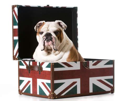 english bulldog sitting inside a british flag trunk