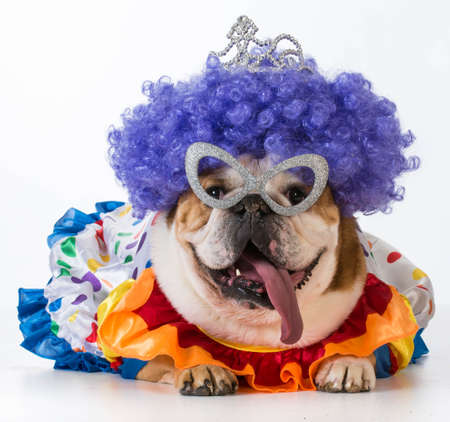 Photo pour funny dog - english bulldog dressed up like a clown on white background - image libre de droit