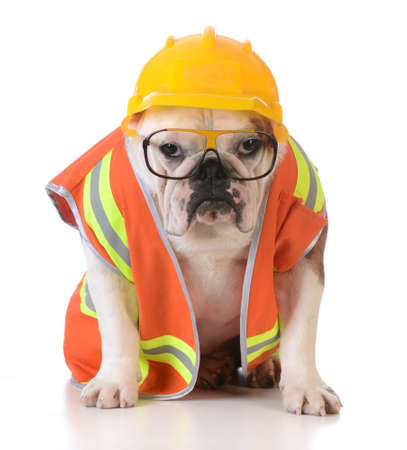 Photo for working dog - bulldog dressed up like construction worker on white background - Royalty Free Image