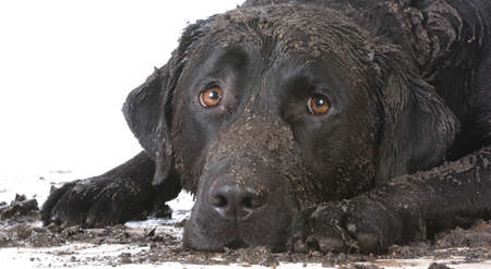 Photo pour dirty muddy dog laying down on white background - image libre de droit